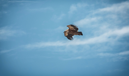 Large bird Griffon vulture flying high in the sky