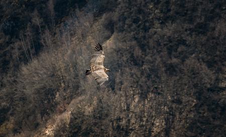 Large bird Griffon vulture flying above canyon Uvac, Serbia