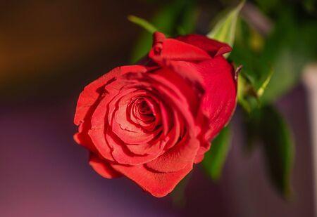 Close up of a red rose flower. Rose petals.