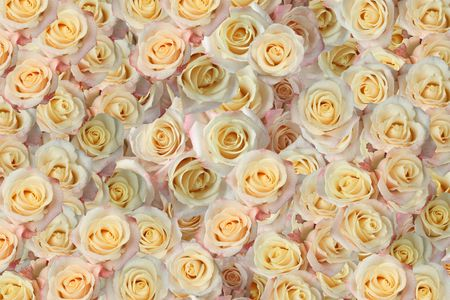 background of the many roses (wedding, the day of St. Valentine)