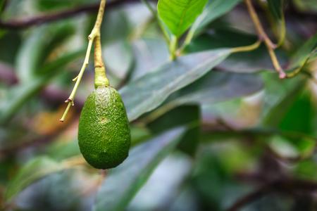 Avocado fruit growing on a tree on Oahu island, Hawaii 版權商用圖片