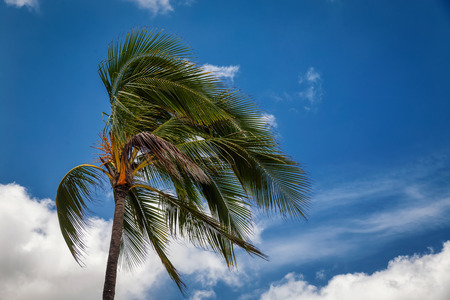 Palm tree blowing in the wind and cloudy blue sky background