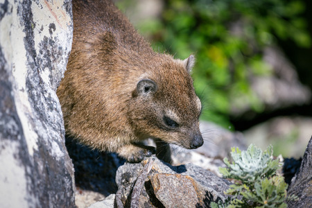 Close up shot of a rock hyrax or dassie on top of Table Mountain, cape Town South Africa Imagens