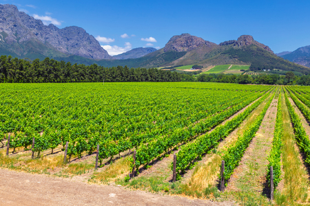 Vineyard and the mountains in Franschhoek town in South Africa Imagens