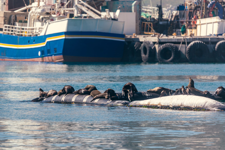 Seals resting in Hout Bay in Cape Town, South Africa Stockfoto