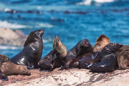 Un montón de focas en una isla de focas de Hout Bay en Ciudad del Cabo, Sudáfrica Foto de archivo