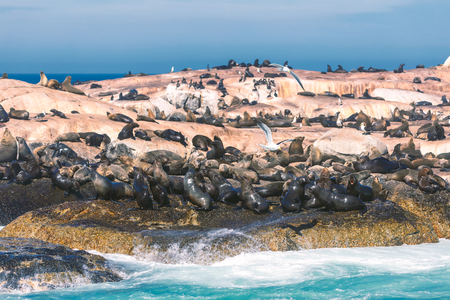 Seals on a Hout Bay seal island in Cape Town, South Africa
