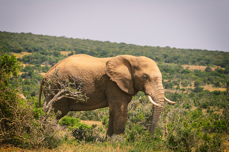 Big African elephant walking in bushes of Addo National Park, South Africa