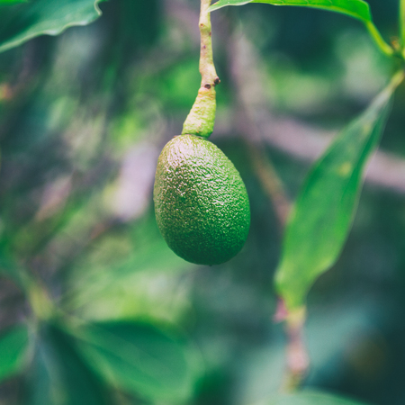Avocado fruit growing on a tree on Oahu island, Hawaii 版權商用圖片