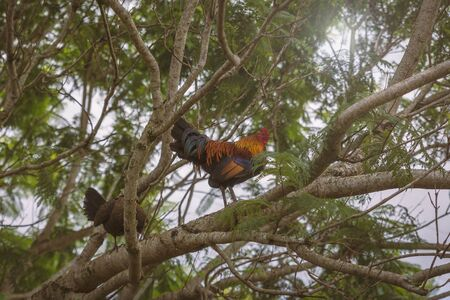 Colorful cock seating on a tree branch on the farm in Hawaii