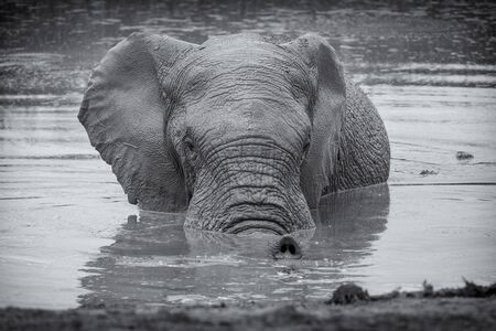 African elephant in water black and white image, Addo National Park, South Africa Banco de Imagens