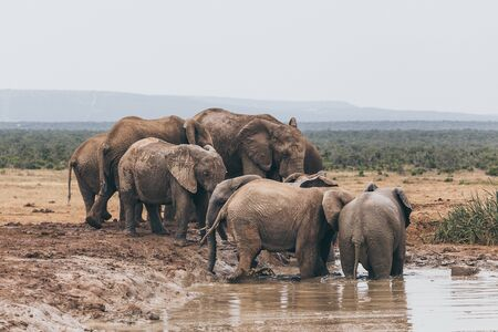 Herd of african elephants in Addo National park, South Africa Banco de Imagens