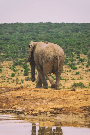 Young African elephant walking in bushes of Addo National Park, South Africa Banco de Imagens