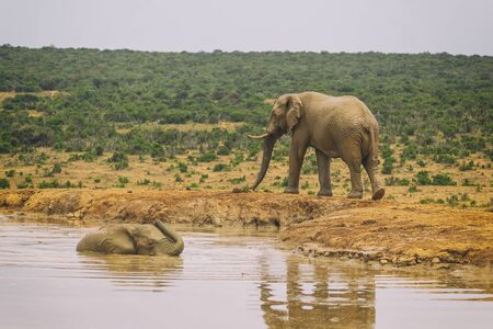 African elephant swimming in the lake in Addo national park, South Africa Banco de Imagens