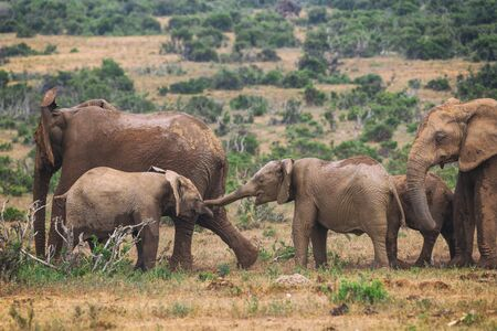 Young african elephants playing in Addo National Park in South Africa Banco de Imagens