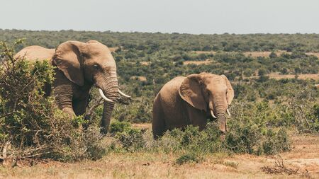 Adult elephant and baby elephant walking together in Addo National Park, South Africa Banco de Imagens
