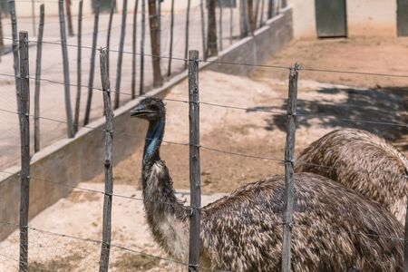 Ostriches at ostrich farm in South Africa
