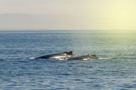 Two humpback whale in Monterey bay, California