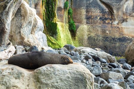 Sleeping seal at Tunnel beach, Dunedin, New Zealand