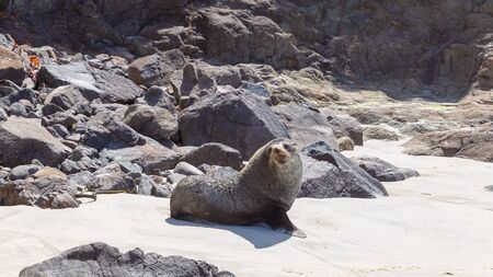 Fur seal posing on the beach in Otago region, New Zealand Banco de Imagens