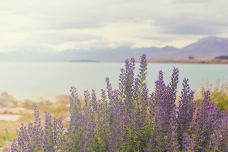 Lupins at lake Pukaki, New Zealand Banco de Imagens