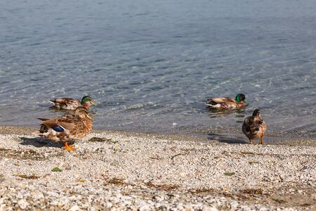 Ducks at the lake in Wanaka, New Zealand