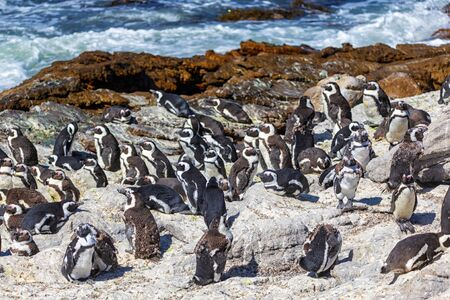 African penguin colony at Stony point in Bettys bay, South Africa