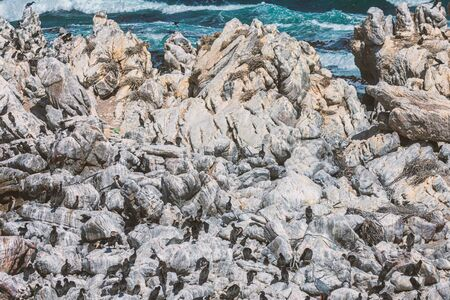 Cape cormorants sitting on a rocks at Bettys Bay, South Africa