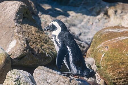 African penguin at penguin colony in Bettys bay, South Africa