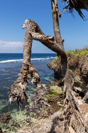 Curvy tree and seascape in Nusa Dua, Bali