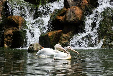 Pelican couple photo