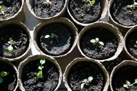 turba: pl�ntulas en macetas que crecen en macetas de turba biodegradables, vista desde arriba Foto de archivo