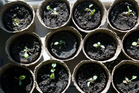 biodegradable: Potted seedlings growing in biodegradable peat moss pots, top view Stock Photo