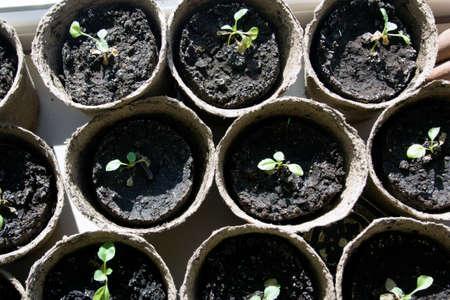 turba: plántulas en macetas que crecen en macetas de turba biodegradables, vista desde arriba Foto de archivo