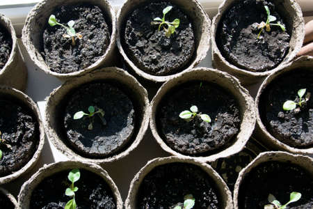 peat: Potted seedlings growing in biodegradable peat moss pots, top view Stock Photo