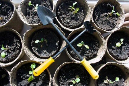 biodegradable: shovel and rake cross in the background potted seedlings growing in biodegradable peat moss pots, top view