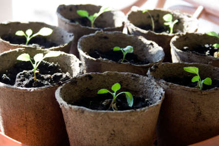 biodegradable: Potted seedlings growing in biodegradable peat moss pots