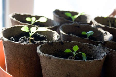 turba: Potted seedlings growing in biodegradable peat moss pots