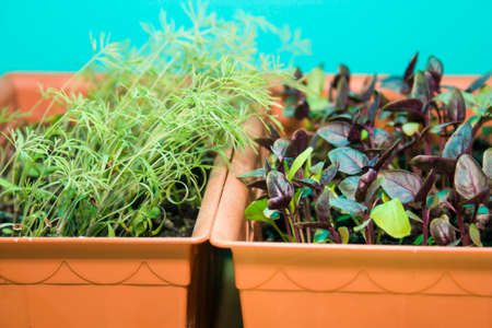 planters: sprouts of Basil and dill in the brown pots on a turquoise background