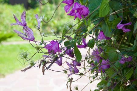 background bushes of purple flowers, Stock Photo