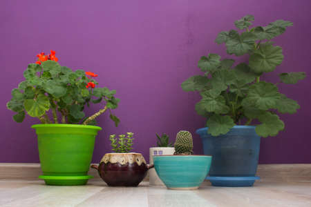 house plants on a violet background wall Stock Photo