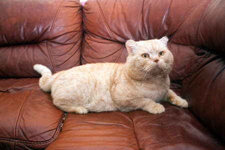 peach color cat on a brown leather sofa