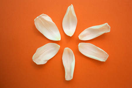 white petals of a Tulip on orange background, top view, copy space