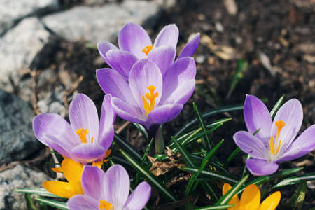 yellow and purple crocuses for the background Stock Photo - 76826049