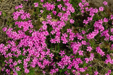 Pink forget me not flowers top view stock photo picture and pink forget me not flowers top view stock photo 80024282 mightylinksfo