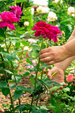 hands of a woman gardener  cuts fresh red roses using shears Stock Photo
