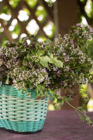 Basket of freshly picked oregano in a gazebo