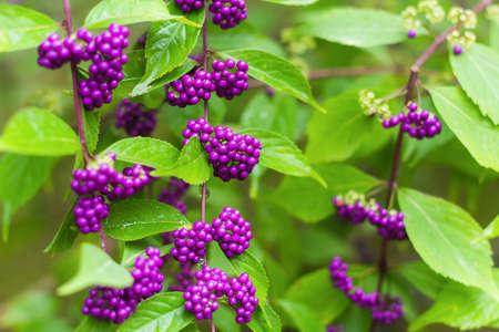 beautiful beautiberry fruits in the garden Stok Fotoğraf