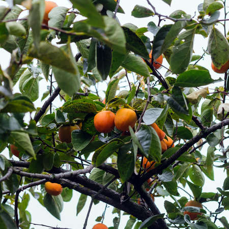 Persimmon tree with fruit in the garden 스톡 콘텐츠