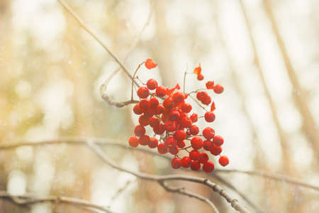 ash berry blurred abstract autumn background